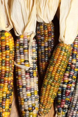 Glass Gem Corn Whole Cob
